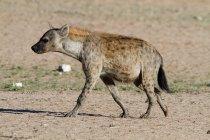 Vista de uma hiena-malhada no deserto — Fotografia de Stock