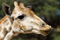 Vista da girafa no fundo de foco — Fotografia de Stock