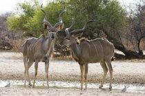 Due Kudu maggiore maschio in piedi vicino alla pozza d'acqua in botswana — Foto stock