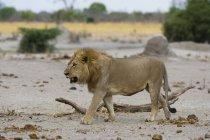 Leão andando em Savuti, Parque Nacional de Chobe, Botswana — Fotografia de Stock