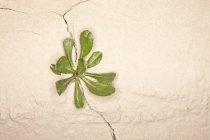 Hierba creciendo en una grieta en una pared, vista de cerca - foto de stock