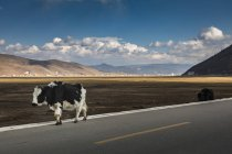 Vacas a pie de carretera, Condado de Shangri-la, Yunnan, China - foto de stock