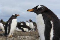 Gentoo penguins (Pygoscelis papua), Port Stanley, Falkland Islands, South America — Stock Photo