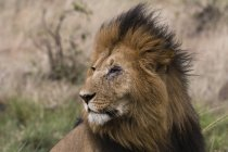 Lion sitting in grass during windy weather and looking away in Masai Mara, Kenya — Stock Photo