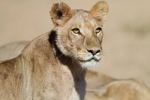 View of female lion, close-up, africa — Stock Photo