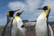 Three King penguins fighting, Port Stanley, Falkland Islands, South America — Stock Photo