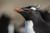 Крупним планом портрет Rockhopper пінгвінів, порт Stanley, Фолклендські острови, Південна Америка — стокове фото