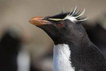 Close up portrait of Rockhopper penguin, Port Stanley, Falkland Islands, South America — Stock Photo