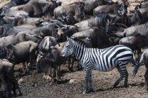 Concede di zebre e GNU il Mara river bank, riserva nazionale di Masai Mara, Kenya — Foto stock