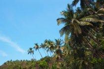 Palmeiras verde com céu azul em Goa, Índia — Fotografia de Stock