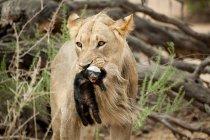 Лев з Борсук мед у роті — стокове фото