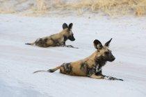 Два африканських дикі собаки, лежачи на піску в Savuti, Чобе Національний парк, Ботсвани — стокове фото