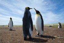Colonia di pinguini reali sulla costa, Port Stanley, Isole Falkland, Sud America — Foto stock