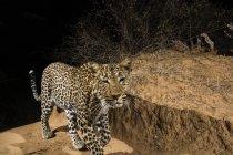 Leopard Wandern in Nacht, Kalama Conservancy, Samburu, Kenia — Stockfoto