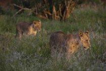 Dos leones subadultos caminar sobre hierba verde durante puesta del sol - foto de stock
