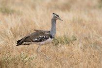 Seitenansicht des Kori Bustard Vogel auf Rasen, Samburu National Reserve, Kenia — Stockfoto