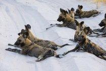 Африканские дикие собаки лежат на песке в Савути, Национальный парк Чобе, Ботсвана — стоковое фото