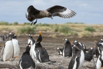 Southern skua attacking Gentoo penguins colony, Port Stanley, Falkland Islands, South America — Stock Photo