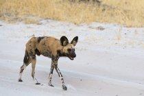 Африканських дикі собаки, ходьба по піску, в Savuti, Чобе Національний парк, Ботсвани — стокове фото