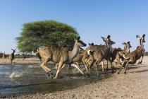 Mayor kudus de abrevadero en botswana - foto de stock