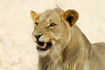 Close-up view of majestic beautiful african lion, headshot — Stock Photo