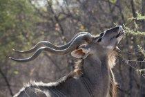 Side view of male greater kudu feeding in botswana — Stock Photo