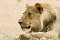 Chiuda in su di giovane leone maschio che si trova sulla terra — Foto stock