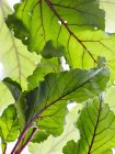 Still life of beetroot leaves, overhead view — Stock Photo