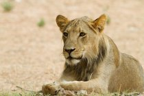 Young male lion lying on ground and looking away — Stock Photo