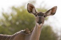 Portrait of female greater kudu in kalahari, botswana — Stock Photo