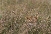 LÖWENJUNGES Mutter warten und verstecken sich in hohe Gräser, Masai Mara, Kenia — Stockfoto