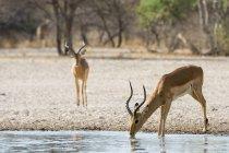 Один Impala питної води з річки, ще один, що стоять на землі в Калахарі, Ботсвани — стокове фото