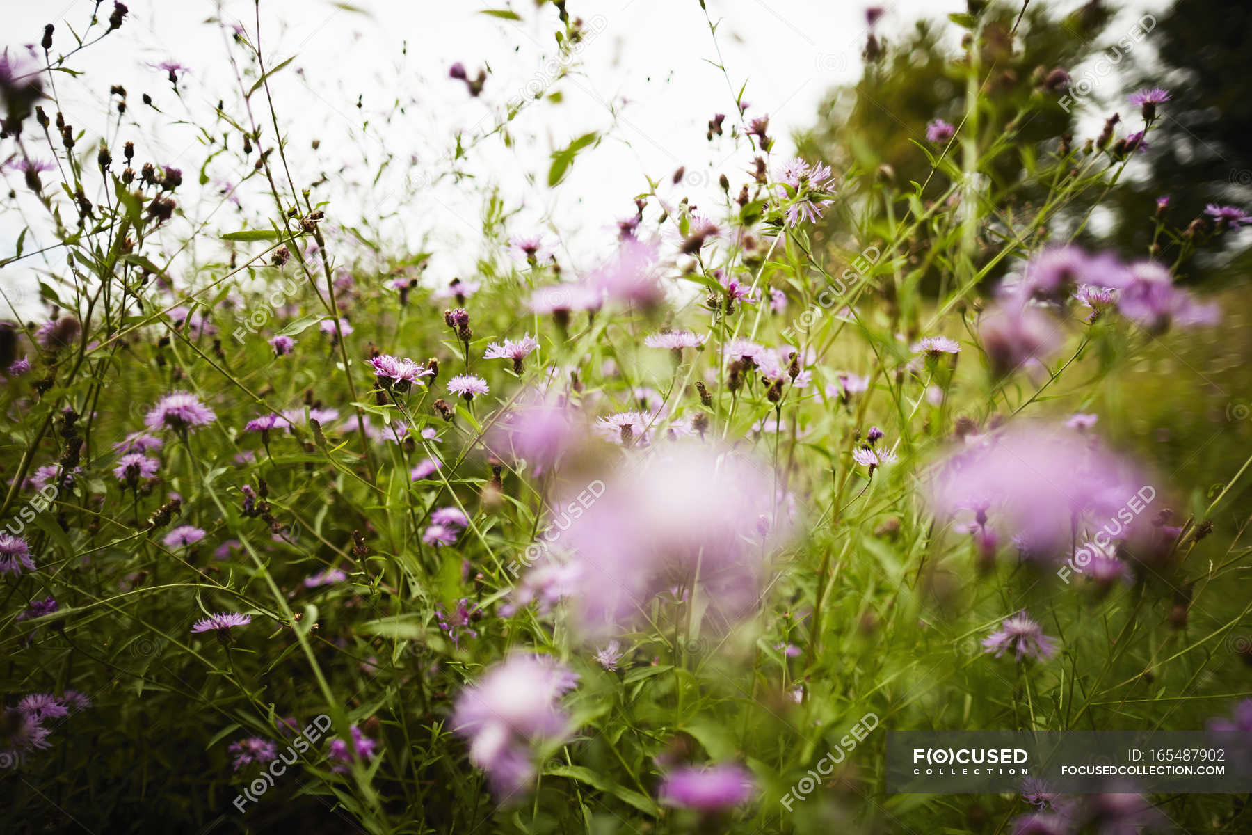 Meadow Field Of Pink Flowers Stock Photo 165487902