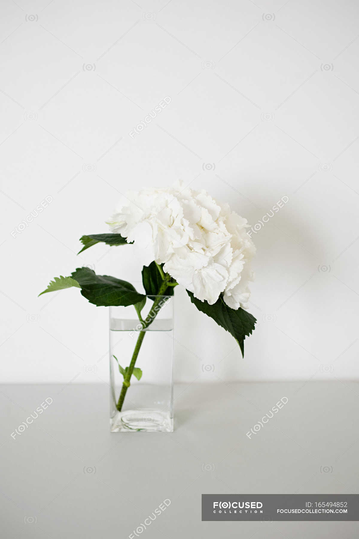White Hydrangea Flower In Glass Vase Stock Photo 165494852