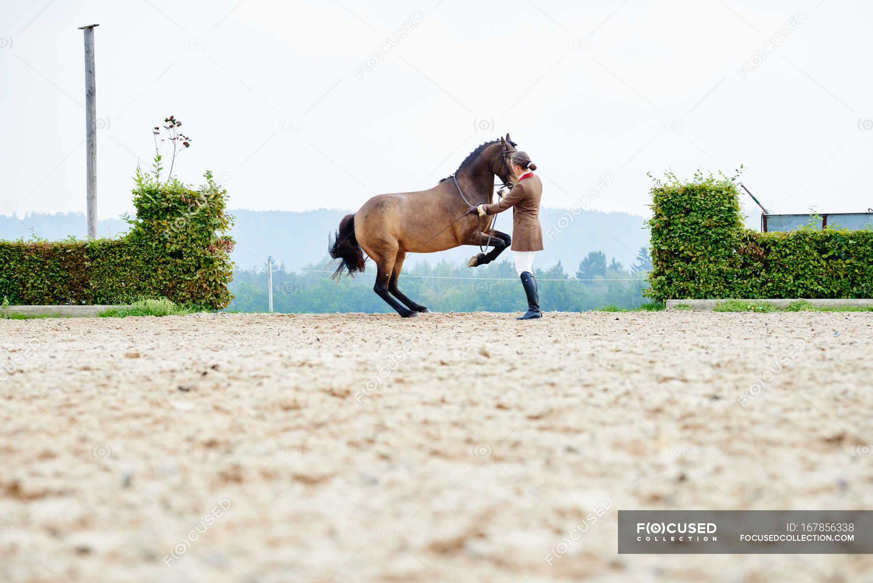 Female Rider Training Dressage Horse On Hind Legs In Equestrian Arena Obedience Equestrian Sport Stock Photo 167856338