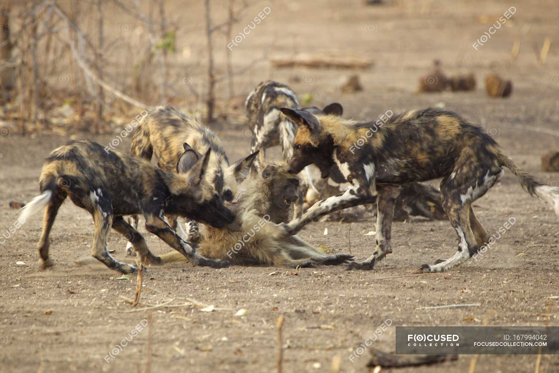 African Wild Dogs Or Lycaon Pictus Attacking Juvenile Baboons In Mana Pools National Park Zimbabwe Travel Strength Stock Photo 167994042