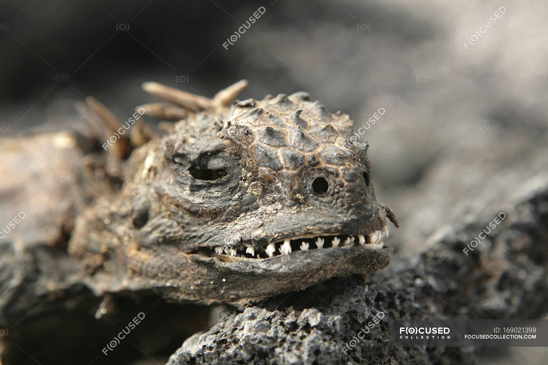 Marine iguana desiccated body, Galapagos Islands, Ecuador — Stock ...