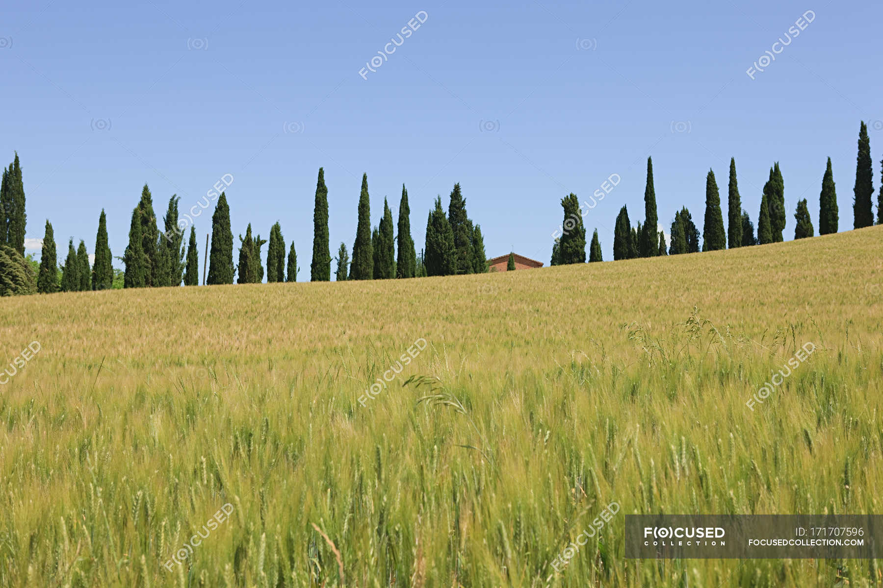Cypress trees and wheat field — picturesque, In A Row - Stock ...