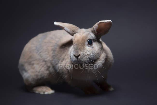 Portrait of rabbit, studio shot — Stock Photo