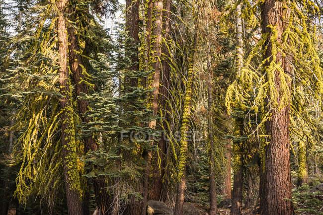 Détail de sapins, forêt — Photo de stock