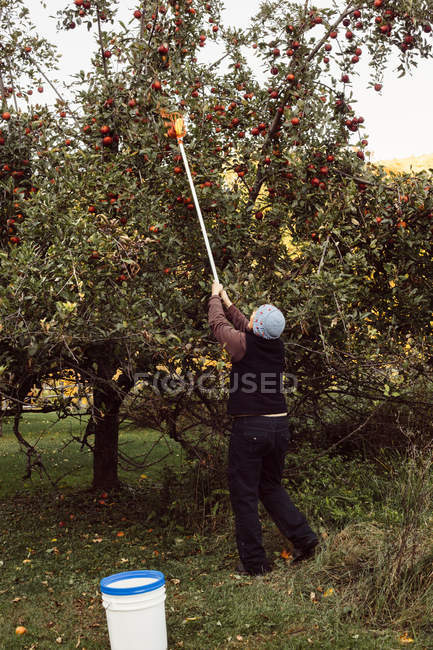 Woman picking apples — Stock Photo