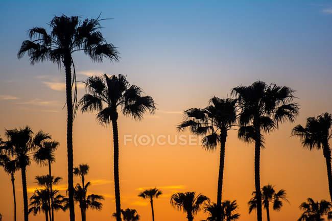 Силуетними пальми у Золотий захід сонця — стокове фото