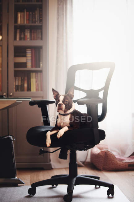 Boston terrier, allongé sur une chaise — Photo de stock