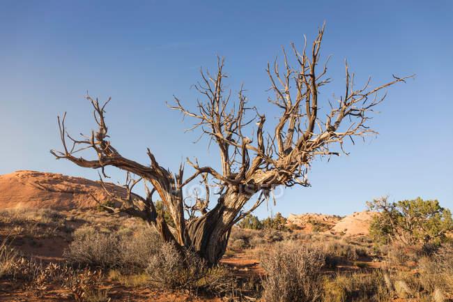 Árvore morta, Escalante — Fotografia de Stock