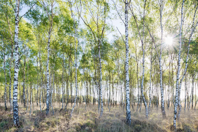 Birch trees in spring morning — Stock Photo