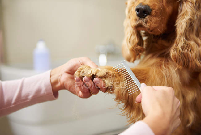 Groomer pettinatura cocker spaniel — Foto stock