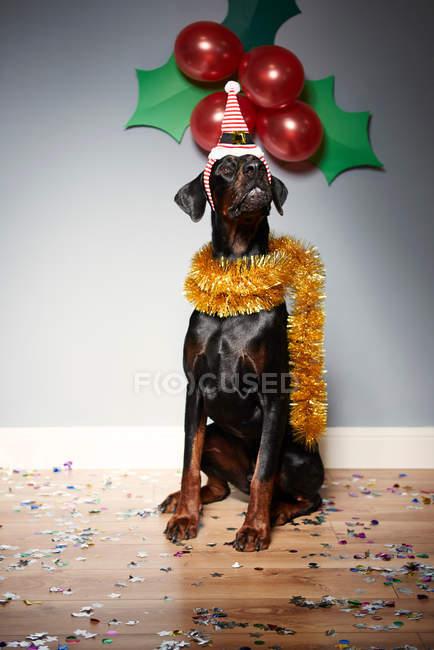 Собака носити капелюх Санта — стокове фото