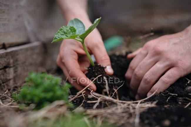 Man planting seedlings in soil — Stock Photo
