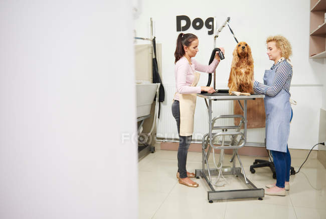 Groomer drying cocker spaniel — Stock Photo