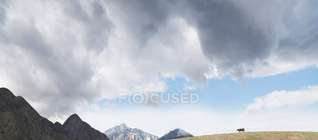 Cow on hill in mountain landscape — Stock Photo